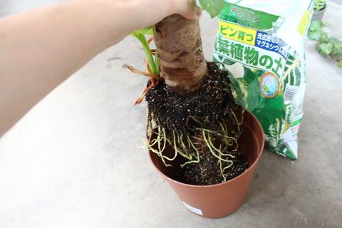 クワズイモ 植え替え