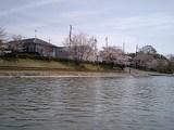同志社艇庫前の桜