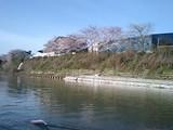 セーヌの桜
