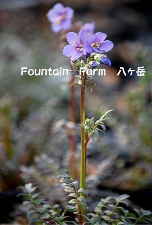 Polemonium yezoense`Purple Rain Strain' (3)