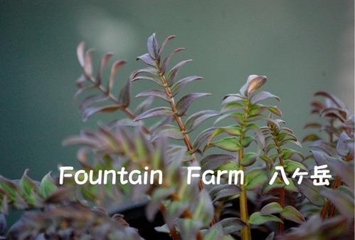 Polemonium yezoense`Purple Rain Strain' (1)