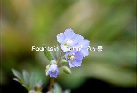 Polemonium reptans (1)