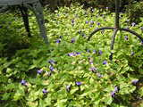 トレニアに覆われた庭 1
