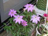 我が家の花 クレマチス