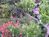 赤い小エビ草の憶にあじさいが…