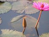 アンコールワット、池の睡蓮