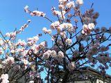 青空に映える桃の花