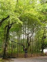 修善寺の境内の竹林