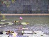 右には蓮池が 大雨です!