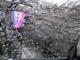 中目黒川 の桜