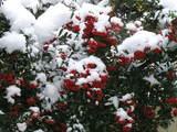 ピラカンサと雪