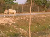 道端には牛が…