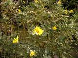 冬の花 ユリオプスディジー