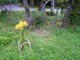 黄色い、まんじゅしゃげ(彼岸花)
