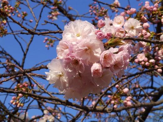 気象庁前 八重桜