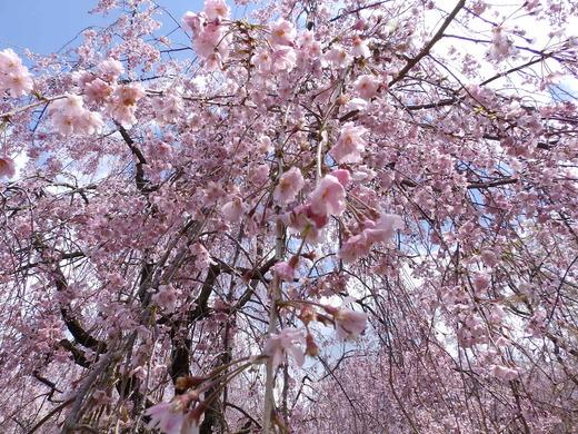 2015桜 原谷苑