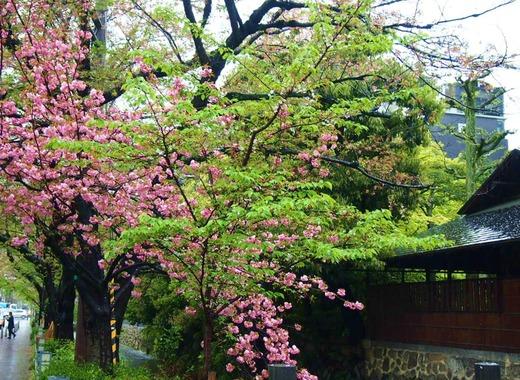 京都、桜2015