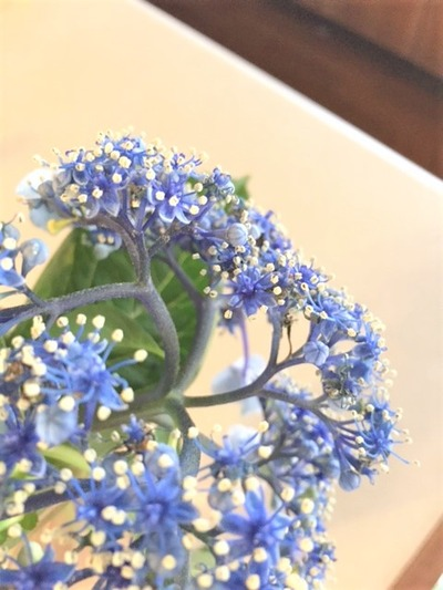 わが家の紫陽花