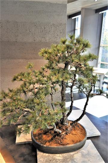 入り口の松の盆栽