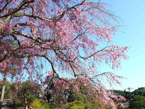 2014,4 三養荘 桜