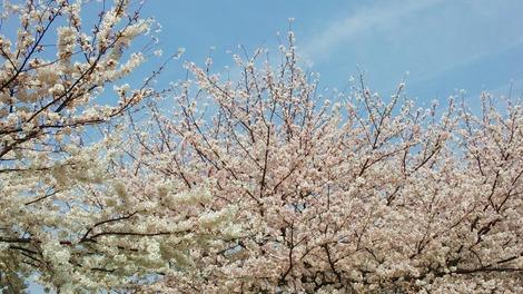2013病院の桜