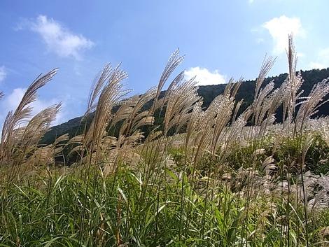 箱根 仙石原のすすき