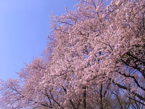 2010 桜 1