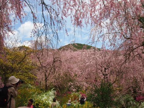 京都 2013桜