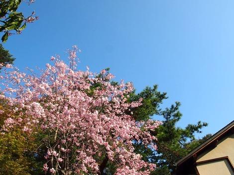 2014,4三養荘 桜