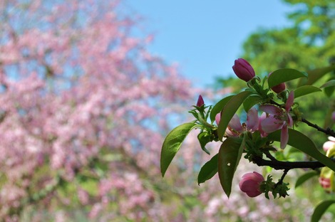 三養荘 桜とかりん