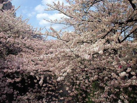 2014,4 目黒川 桜