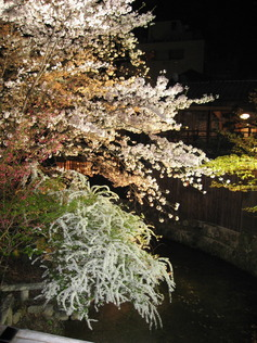 SEALOVEさん 祇園白川の夜桜