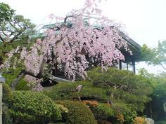 嵐山の桜1