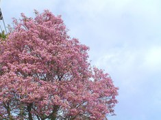 ピンクタコマの花