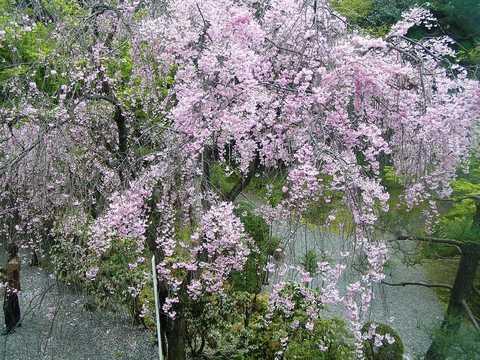 歌舞練場 桜