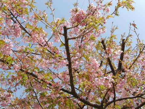稲取の河津桜