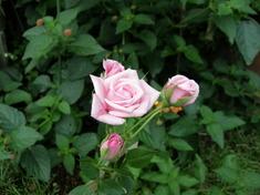 バンブーで頂いたバラ