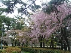 京都御苑、近衛の桜