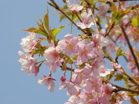 雛の館のお庭に咲いていた河津桜