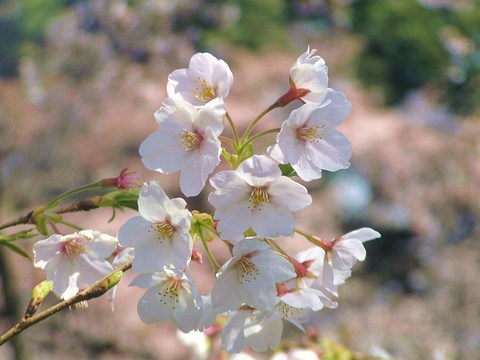 千鳥ヶ淵 桜1