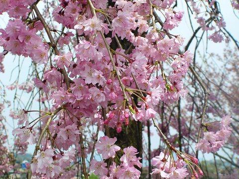 京都 嵐山 しだれ桜
