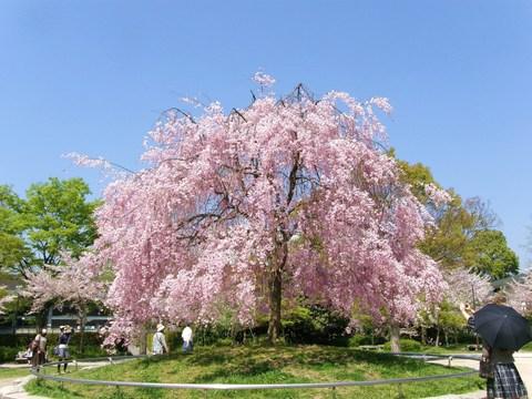 岡崎の桜1