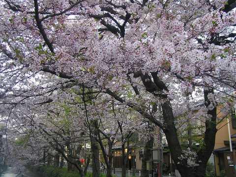 夕方の高瀬川 桜