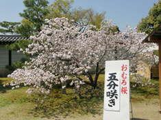 おむろ桜1