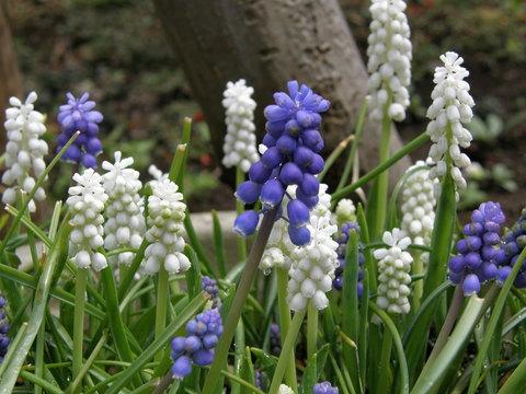 庭の花 ムスカリ