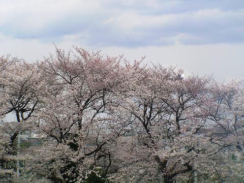 近所の桜名所