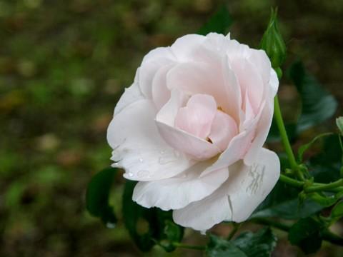 御殿場のバラ1