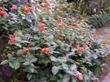 まだ咲いているランタナ