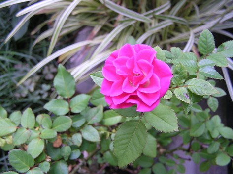 秋の薔薇が咲いています