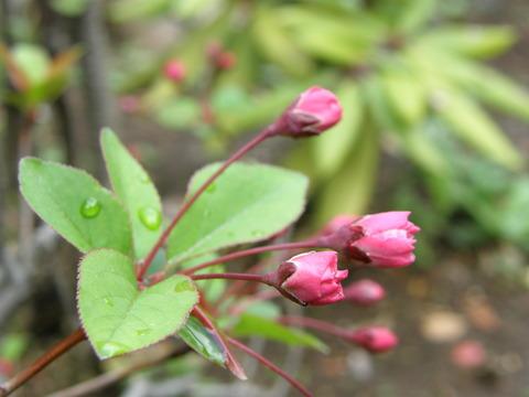 花海棠のつぼみ